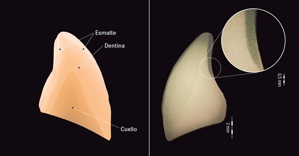 Fig. 1: Representación esquemática de la estructura de capas de un diente protésico VITA de nueva generación (VITAPAN EXCELL). Fig. 2: La imagen de sección de un diente prefabricado de composite MRP (en este caso VITAPAN EXCELL), obtenida mediante microscopio óptico, permite apreciar también en las capas limítrofes una unión sin intersticios ni poros.